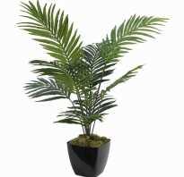 Бетелевая пальма арека уход в домашних условиях