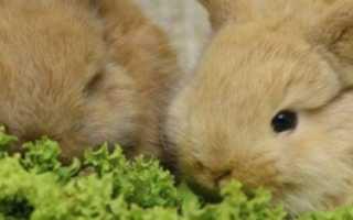 Все про содержание и уход за декоративными кроликами