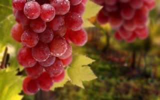 Сорт винограда бело розовый разнообразие видов
