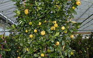 Пурша лиметта – экзотический фрукт на нашем столе