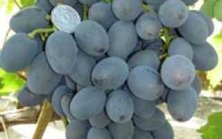 Виноград Гала — описание сорта, фото, саженцы, посадка, особенности ухода. Дачная энциклопедия.