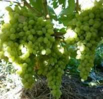 Виноград Кишмиш — описание сорта с фото, посадка и уход, отзывы