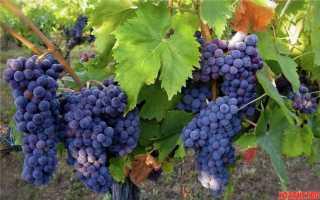 Пересадка (взрослого, старого) винограда на новое место (кустом)