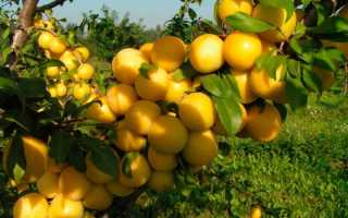 Алыча гек описание сорта — Сад и огород