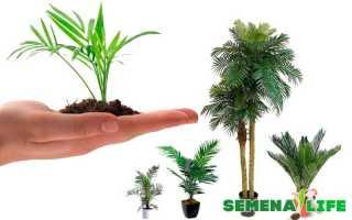 Как вырастить пальму из семян в домашних условиях