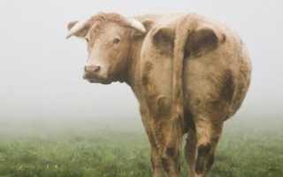 Эндометрит у коров: причины, симптомы и лечение