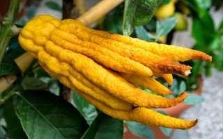 Цитрон пальчатый (Citrus medica). Выращивание цитруса рука будды в домашних условиях