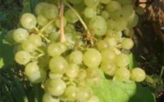 Сорт винограда жемчуг сабо описание сорта