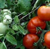 Томат сибирский скороспелый характеристика и описание сорта агротехника