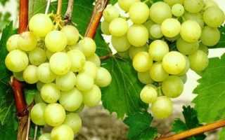 Виноград галбена ноу описание сорта фото отзывы