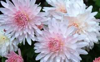 Зимостойкие сорта хризантемы популярные корейские многолетние