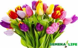 Семена тюльпанов как прорастить тюльпаны