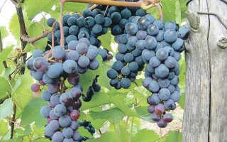 Виноград Левокумский устойчивый описание сорта особенности выращивания