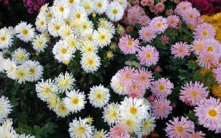 Хризантемы белые цветы названия большие садовые