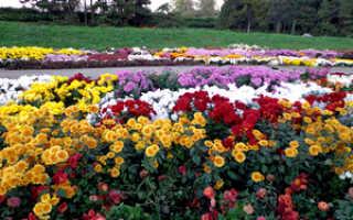 Хризантемы кустовые Гранд Пинк Оптимист описание сортов