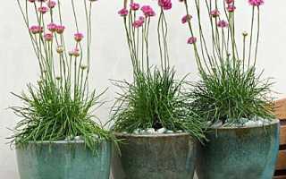 Шнитт лук зеленый выращивание из семян на подоконнике уход