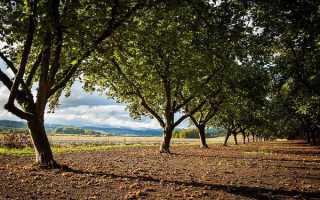 Орешник Лещина: посадка и уход, выращивание, когда начинает плодоносить