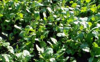 Какие сидераты лучше сеять для картофеля. Чем лучше засеять огород осенью после сбора урожая Что сеять после картофеля осенью