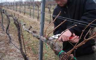 Подготовка винограда к зиме — подкормка, обрезка и утепление