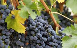 Что делать, если на винограде ягоды мелкие — Sam-Village