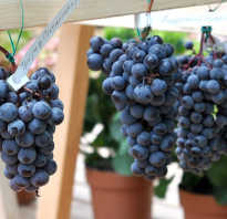Виноград на урале: лучшие сорта